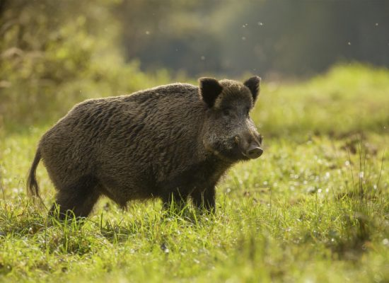 Wild-Boar-Images-1024x683
