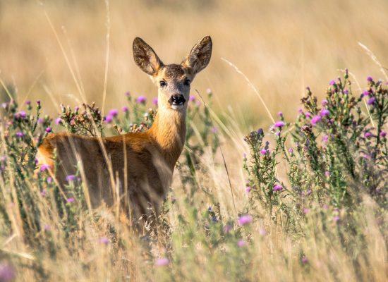 roe-deer-2615377_1920